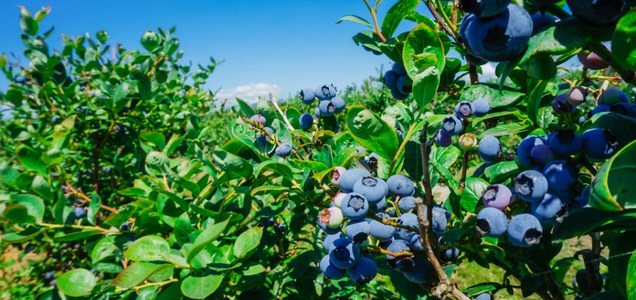 Grassroots approach to growing blueberries