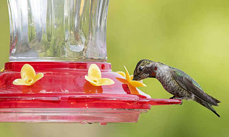 Hummingbird feeder microbes